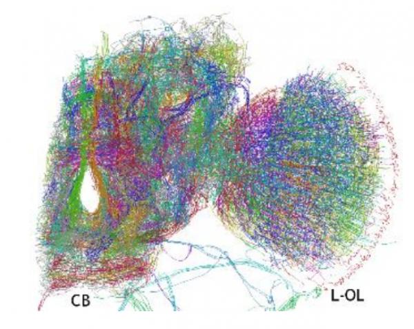 Ученые впервые составили 3D-модель мозга дрозофилы - 2