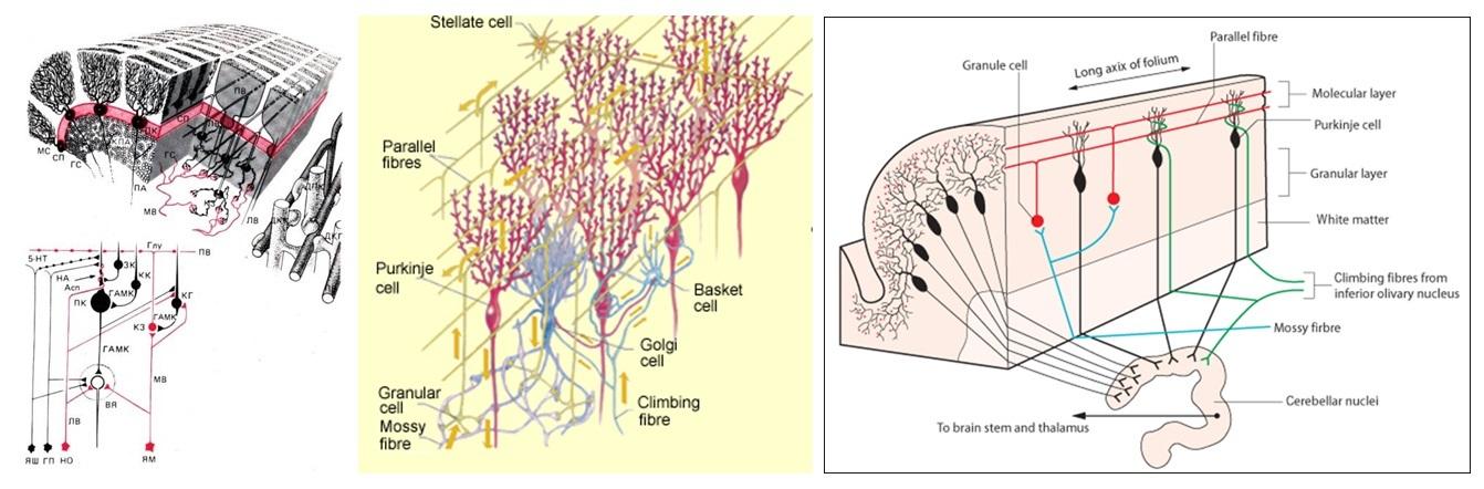 Удивительный мозжечок - 6