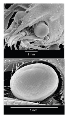 Физика в мире животных: омар и его глаза - 2
