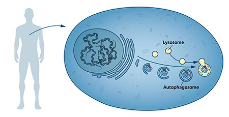 Нобелевскую премию по физиологии и медицине присудили за исследование «самопоедания» клеток - 2