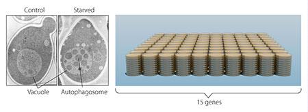 Нобелевскую премию по физиологии и медицине присудили за исследование «самопоедания» клеток - 3