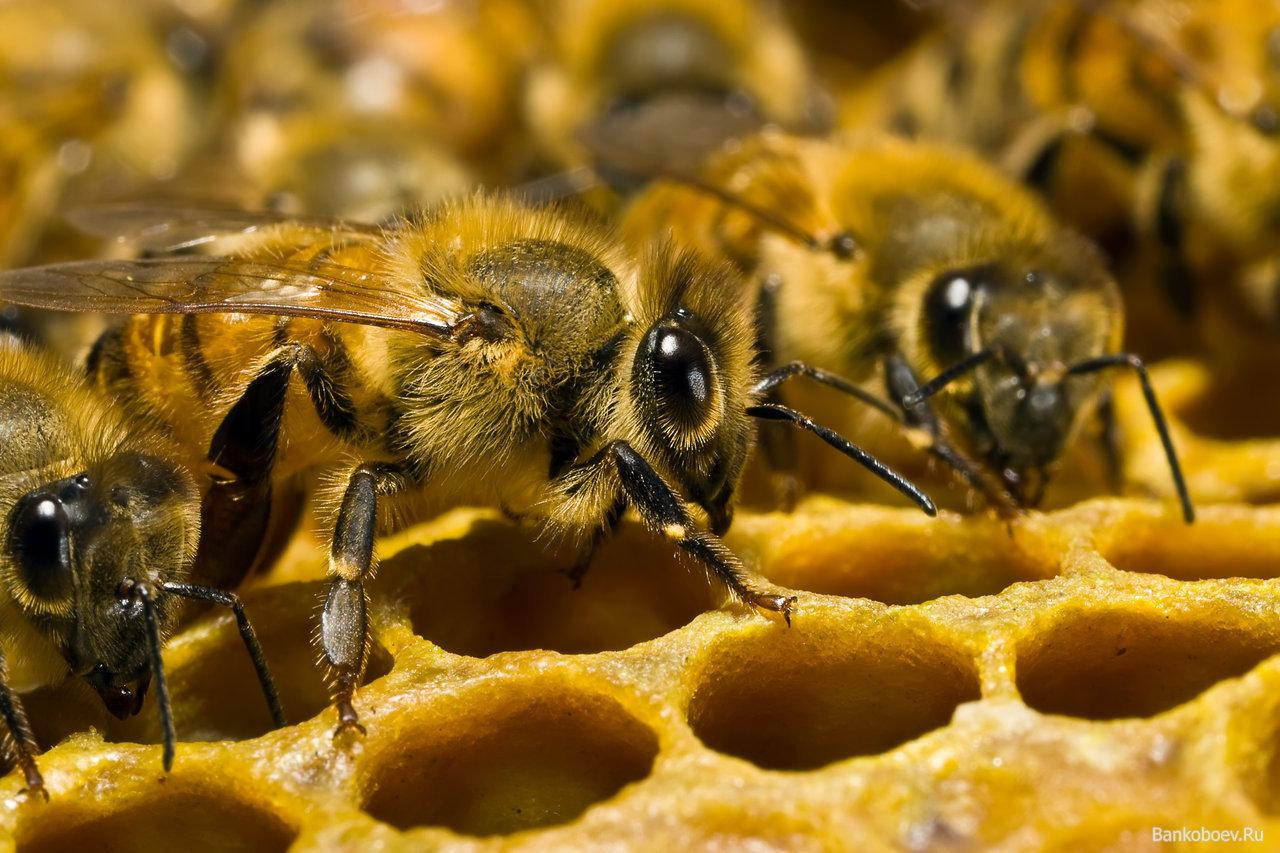 Почему пчел так много? - 1