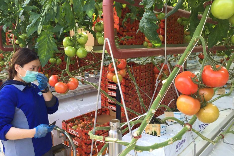 Первая в мире гидропонная солнечная ферма: морская вода + солнечный свет=помидоры - 5