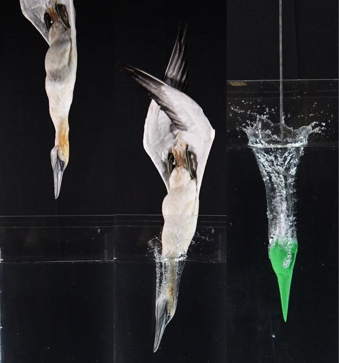 Физика в мире животных: птицы-ныряльщики и их система безопасности - 2