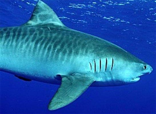 Раскрыты черты характера тигровой акулы
