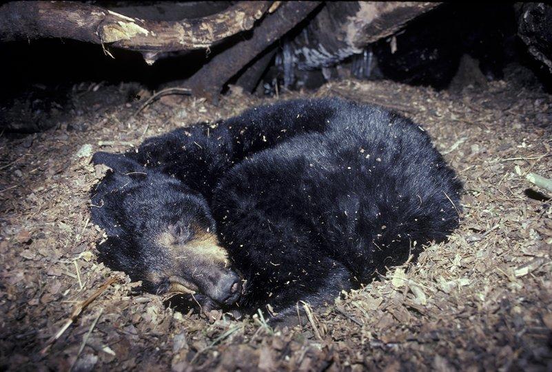 Что происходит с организмом медведя во время спячки? Комментарий специалиста - 1