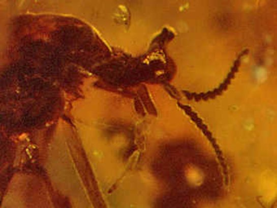 Ископаемые осы не имели крыльев
