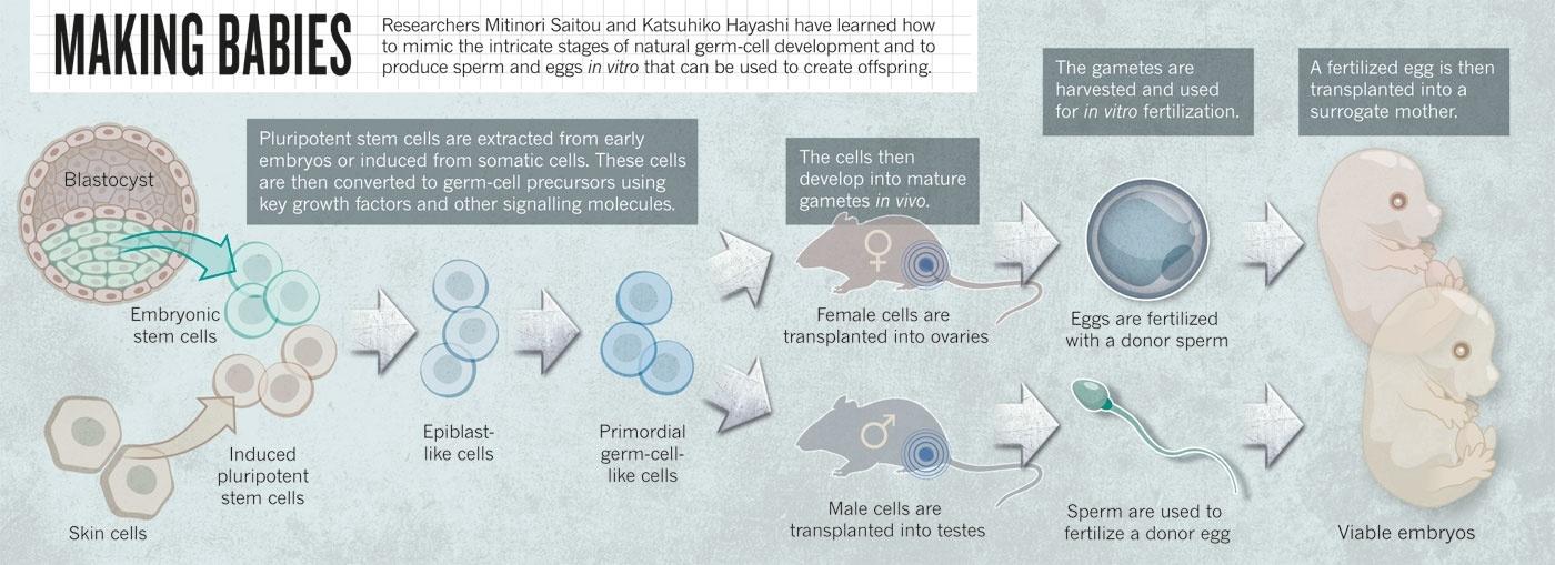 Японские ученые вырастили яйцеклетки из мышиных клеток кожи - 2