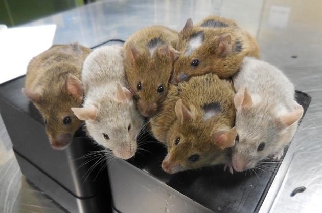 Японские ученые вырастили яйцеклетки из мышиных клеток кожи - 3