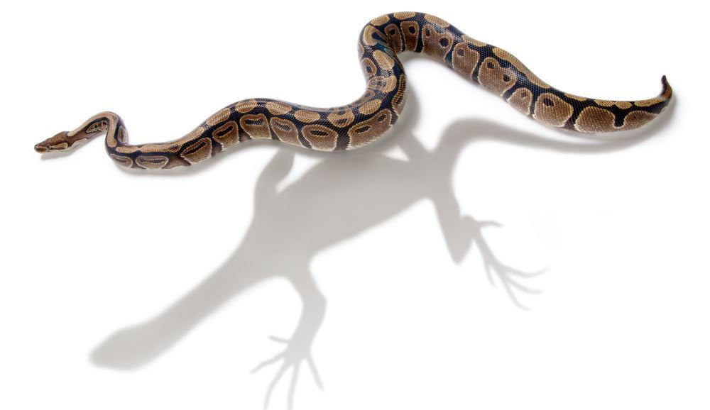 Ученые из Флоридского университета определили генетическую причину отсутствия у змей лап - 1