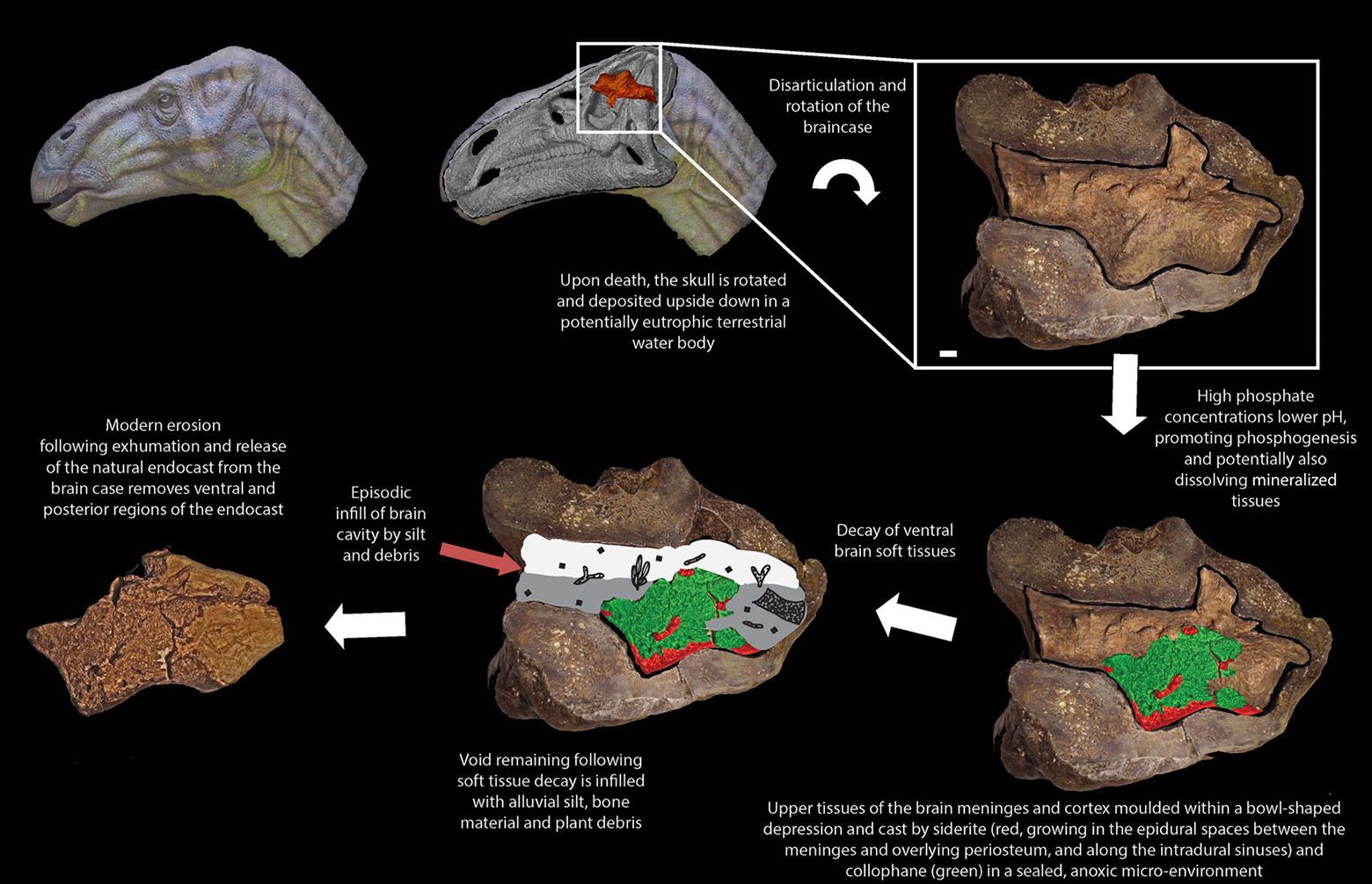 Динозавры могли быть умнее, чем принято считать. Окаменелый мозг игуанодонта изучили под микроскопом - 4