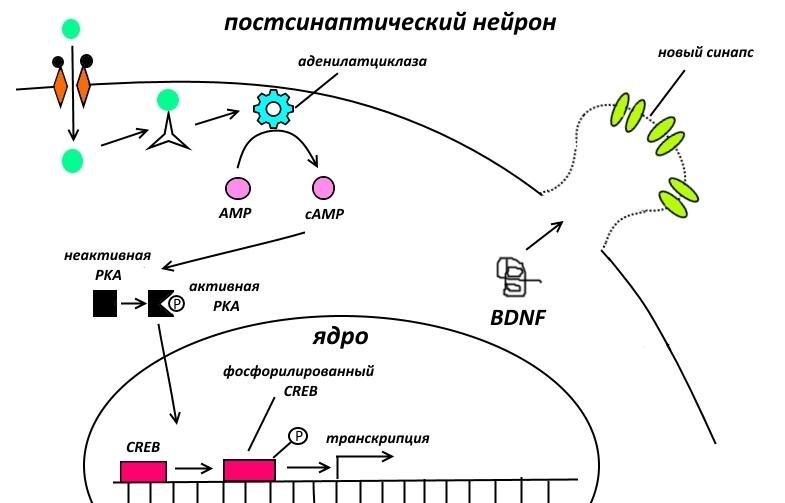 Фармакологическая модуляция памяти. Часть 2 - 7