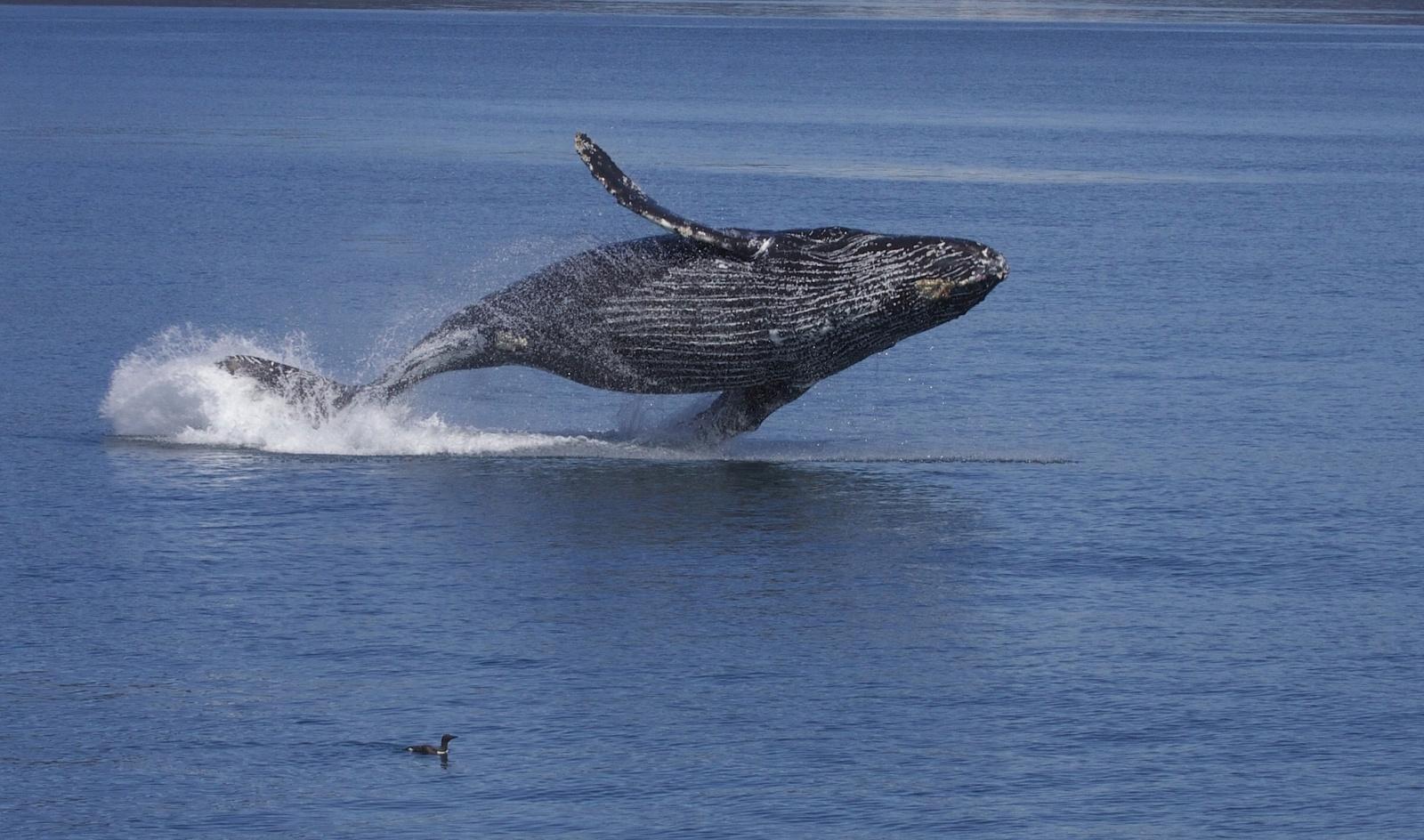 Найдены ранее неизвестные компоненты песен китов - 2