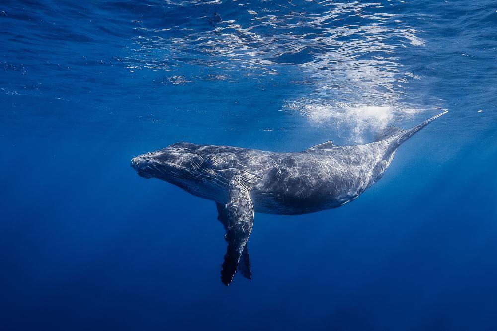 Найдены ранее неизвестные компоненты песен китов - 1