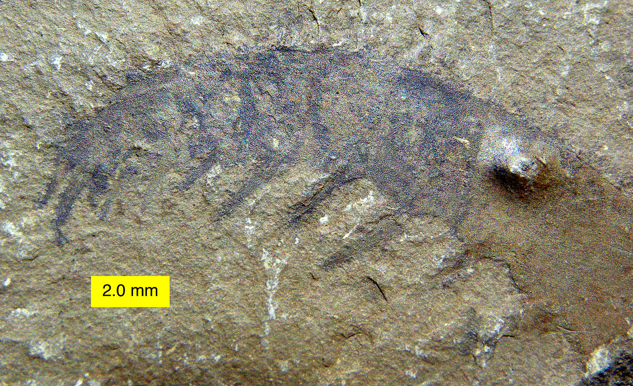 «Ископаемая креветка» аномалокарис и его сложные фасетчатые глаза - 2