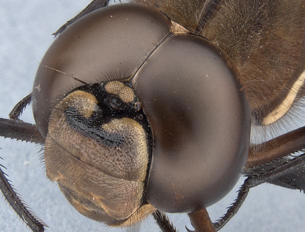 «Ископаемая креветка» аномалокарис и его сложные фасетчатые глаза - 4
