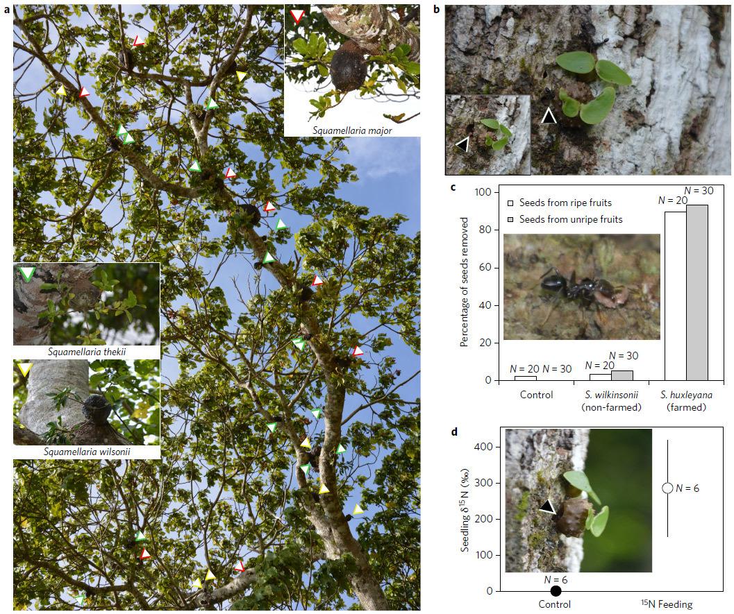 Муравьи на Фиджи примерно 3 млн лет назад научились выращивать фрукты - 2