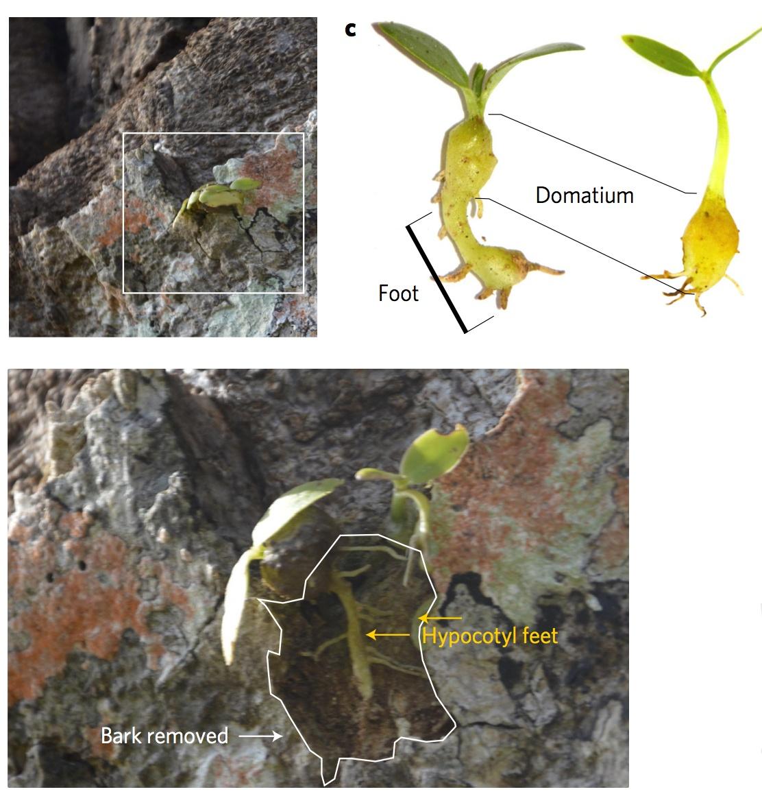 Муравьи на Фиджи примерно 3 млн лет назад научились выращивать фрукты - 3