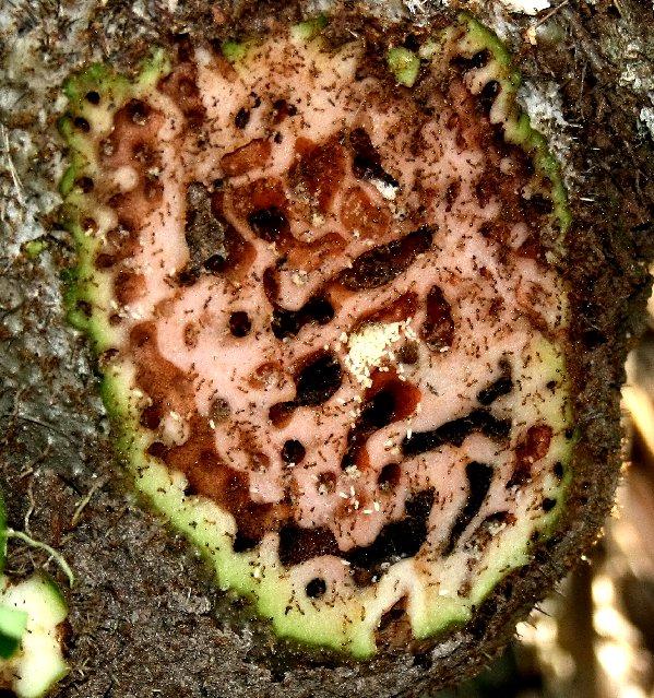 Муравьи на Фиджи примерно 3 млн лет назад научились выращивать фрукты - 4