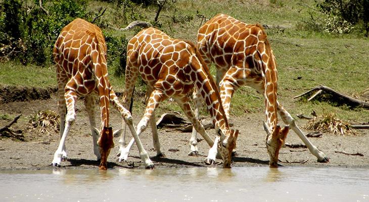 Физика в мире животных: жираф и его «насос» - 2