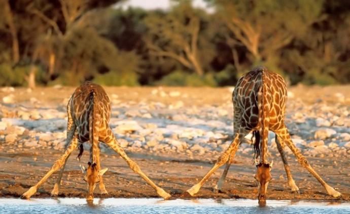Физика в мире животных: жираф и его «насос» - 4