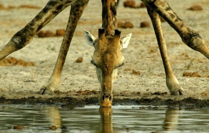 Физика в мире животных: жираф и его «насос» - 1
