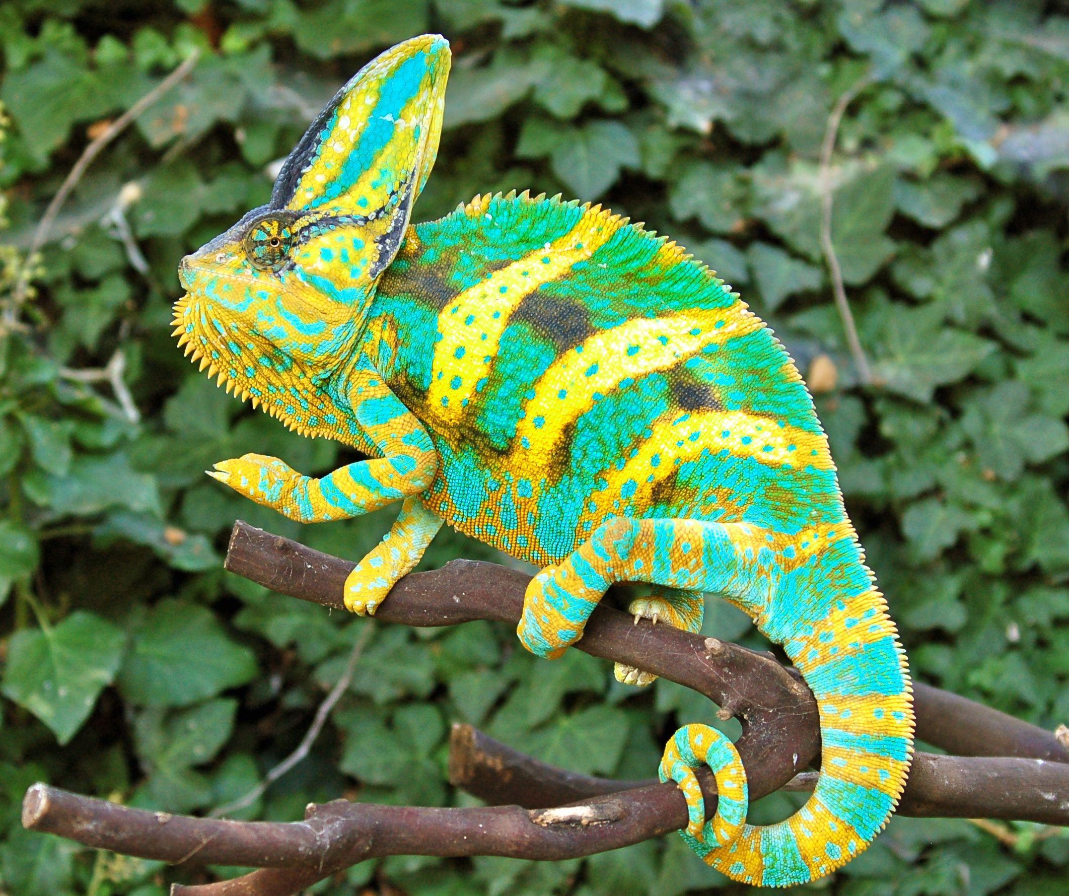 Физика в мире животных: хамелеоны и их цвет - 4