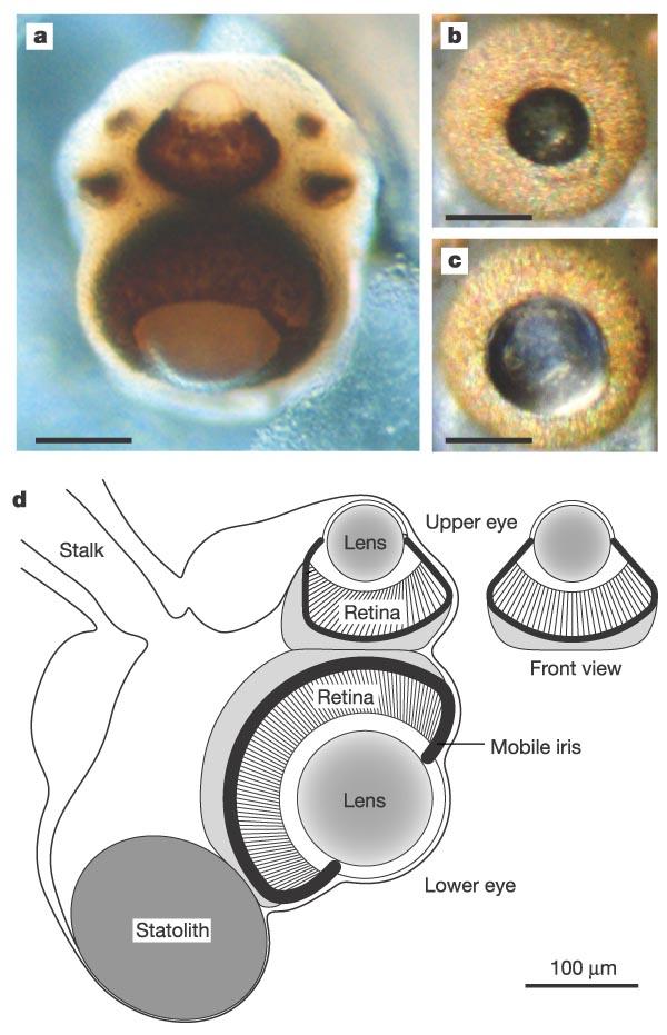Физика в мире животных: кубомедузы и их глаза - 4