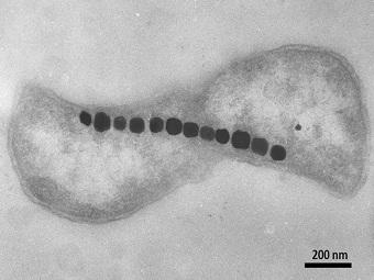 Физика в мире животных: магниточувствительные бактерии и их компас - 2
