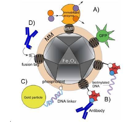 Физика в мире животных: магниточувствительные бактерии и их компас - 3