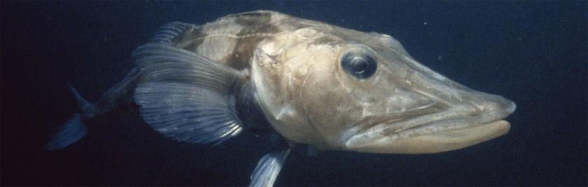 Кровь и лед: как антарктические рыбы утеряли гемоглобин, но смогли выжить - 2