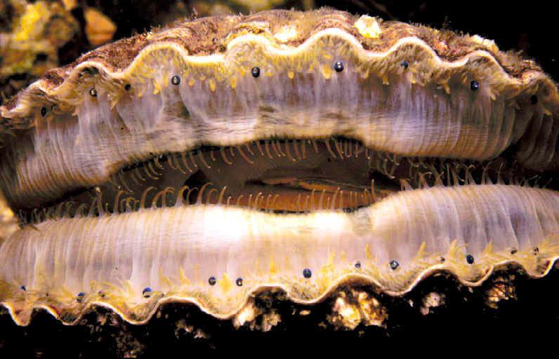 Морской гребешок и его удивительные глаза - 1