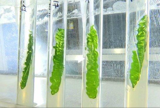 Антарктические водоросли смогли выжить в космосе