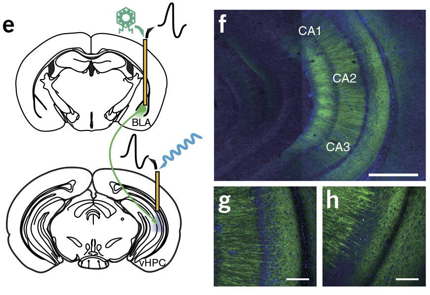 Создано композитное оптоволокно, которое передаёт в мозг (и обратно) оптический, электрический сигналы и жидкость - 1
