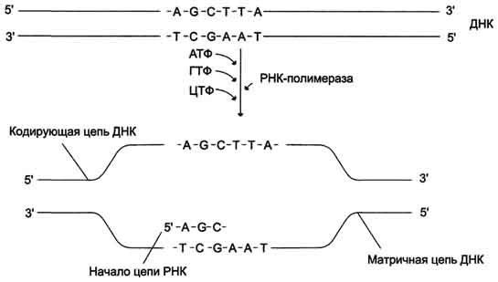 Генная инженерия бактерий: с чего всё начиналось и как это работает в лаборатории сегодня - 6