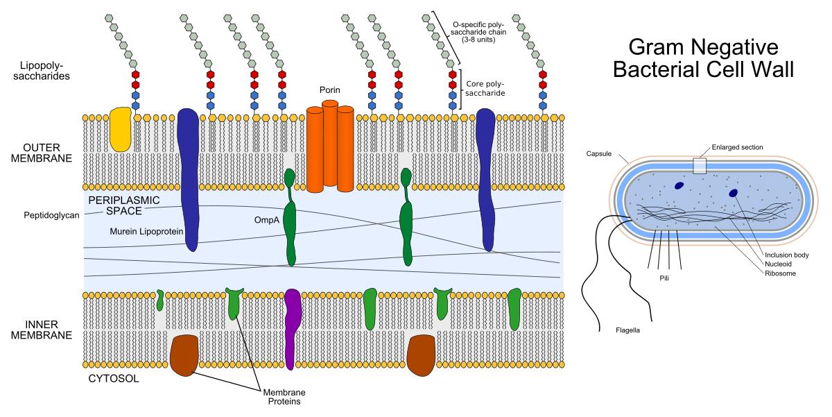 Генная инженерия бактерий: как внести нужные нам гены в составе плазмидного вектора в бактерию - 2