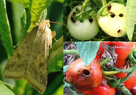 Отказ от выращивания неустойчивых к вредителям растений можно приравнять к запрету устойчивых ГМ-сортов - 2