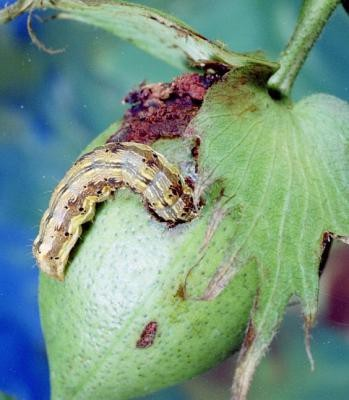 Отказ от выращивания неустойчивых к вредителям растений можно приравнять к запрету устойчивых ГМ-сортов - 4