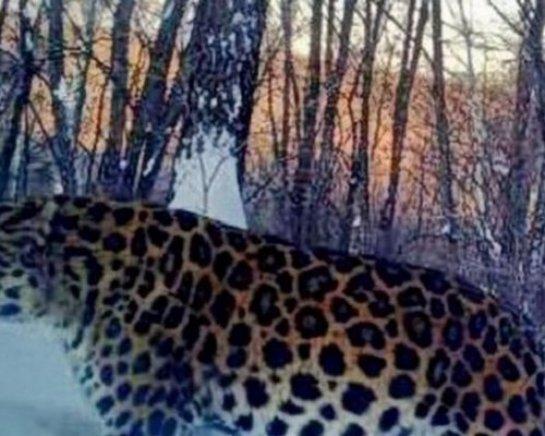 «Беременный» леопард из Приморья оказался самцом