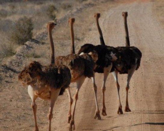 В Индии когда-то жили страусы