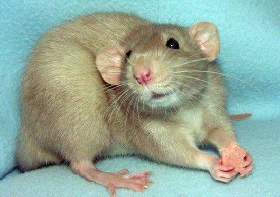 Крысы умеют смеяться