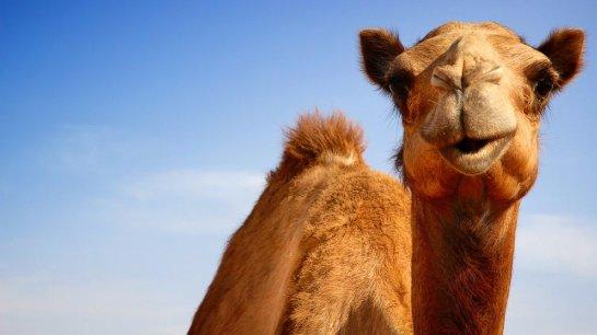 Nissan предложил ввести в арабском мире единицу измерения «верблюжья сила»