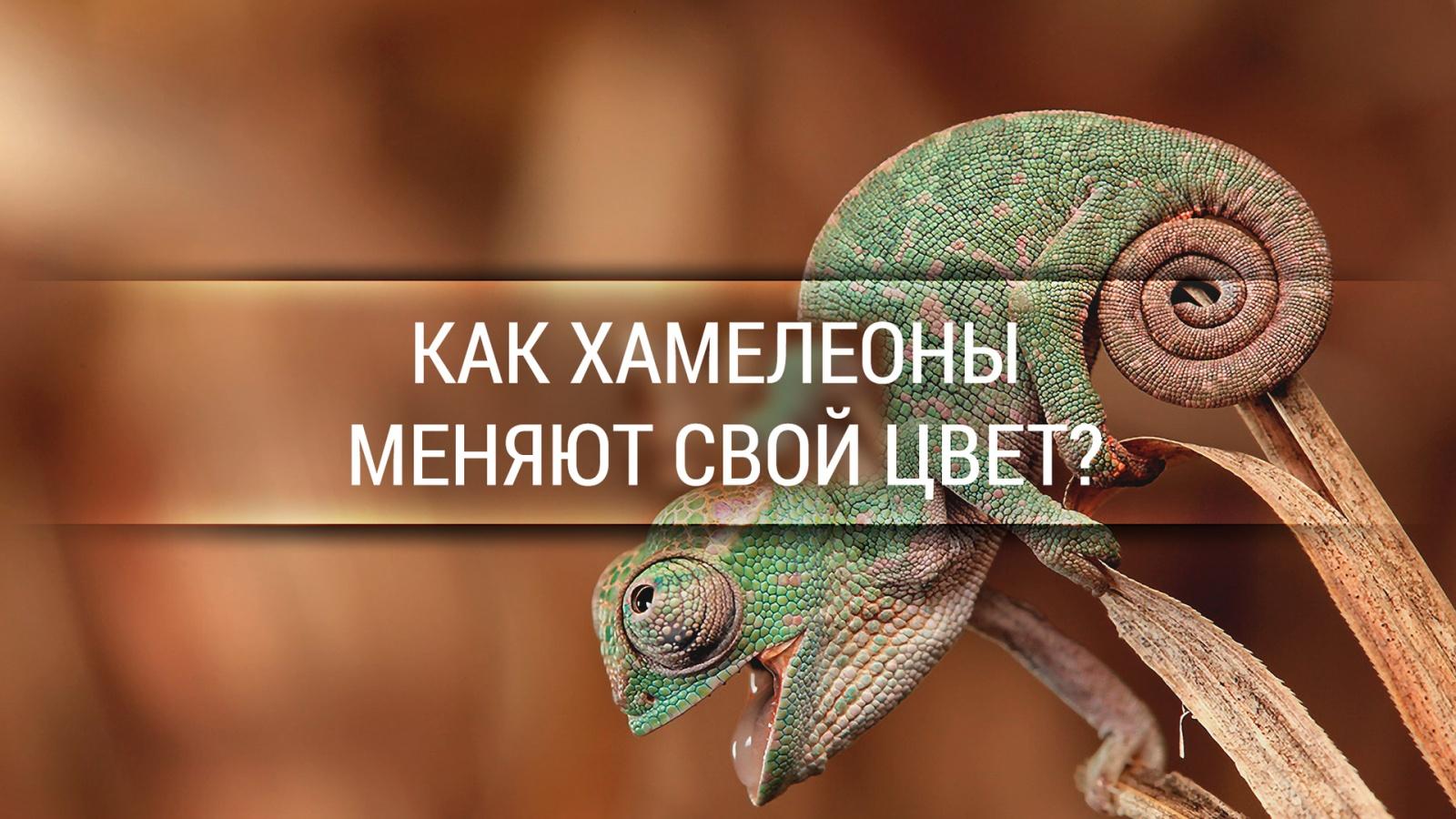 Как хамелеоны меняют свой цвет? [Veritasium] - 1
