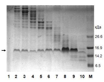 Генная инженерия бактерий: как достать из бактерий нужный нам белок - 13