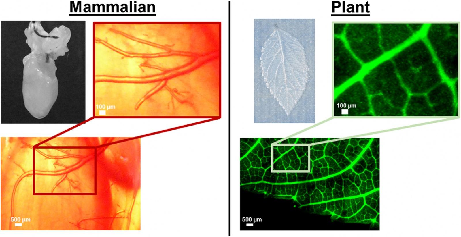 В листьях шпината вырастили клетки сердечной мышцы человека - 2