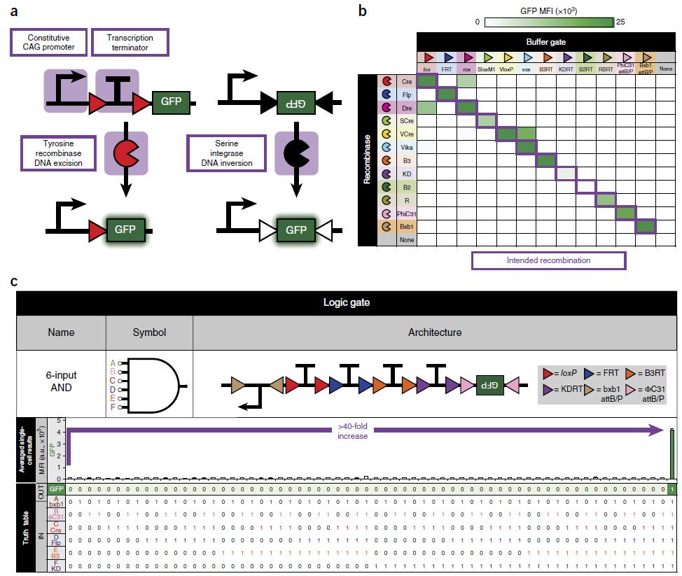 Создан фреймворк BLADE для прокладки вычислительных цепей в ДНК млекопитающих и человека - 2