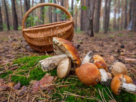 Искусственный нос создадут на базе грибов, используемых в кулинарии