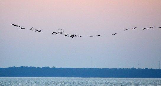 Отслеживание перелетных птиц наносит им вред