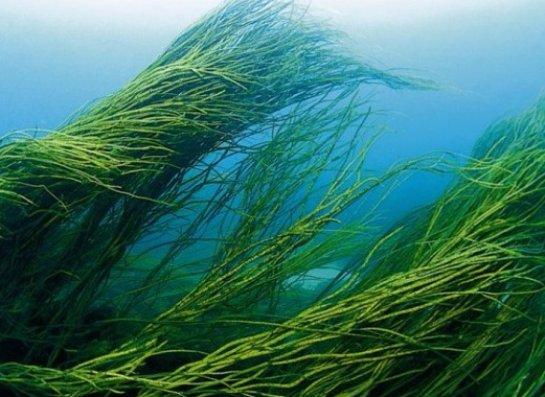 Недостаток продовольствия хотят восполнить с помощью водорослей