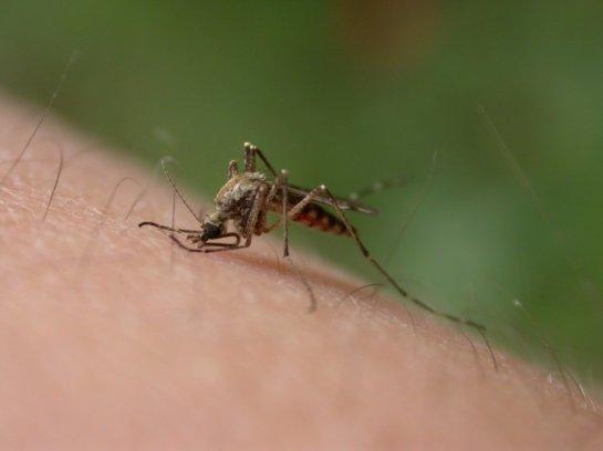 Комариные укусы передают одновременно несколько вирусов